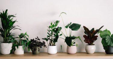 Plants for Raksha Bandhan